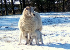 Ewe_with_two_lambs_in_the_snow_-_geograph.org_.uk_-_550962