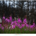 Wilgenroosje / Rosebay Willowherb (5D031175)