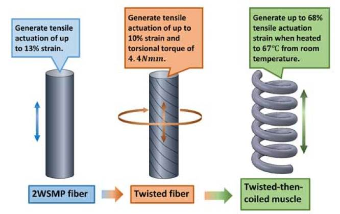 Fabrication procedure and actuation of coiled artificial muscle based on two-way shape memory polymer fiber