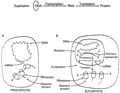 5 Gene Regulation Gene Control Transcription Factors and