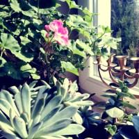 Pelargonie, 5 najskuteczniejszych sposobów jak je przezimować.