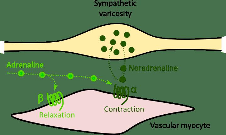 adrenergic varicosity