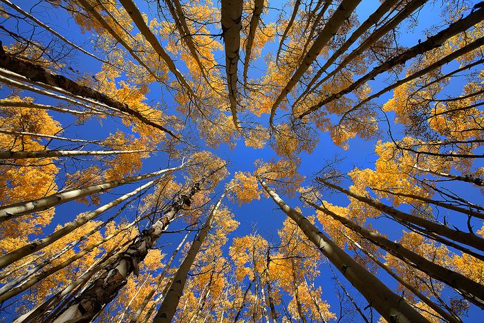 Birch Tree Fall Wallpaper Looking Up Boreas Pass Breckenridge Colorado Nate