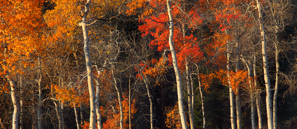 Panoramic Wallpaper Fall Forest For The Trees Yellowstone National Park Wyoming