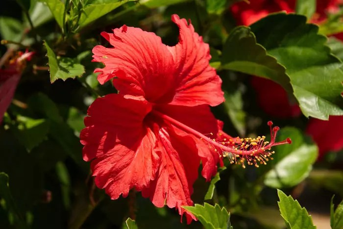 Doctor Symbol Hd Wallpaper Hibiscus National Flower Of Haiti Meaning Of The Hibiscus