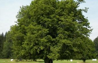 Carpino, albero