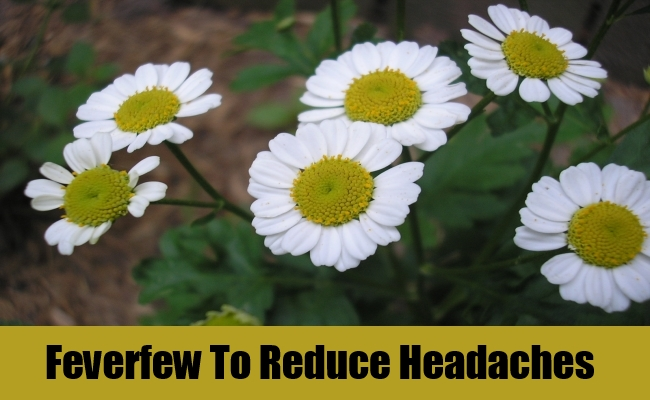 Feverfew To Reduce Headaches