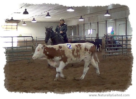 Sorting cows with a gaited horse