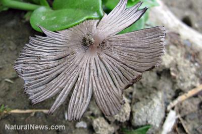 أنواع الغراب السام Types poisonous FanMushroom.jpg