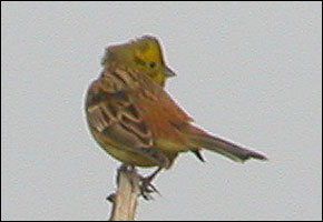 Is this the rare Yellowhammer