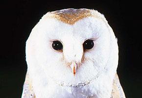 Georgie the Barn Owl