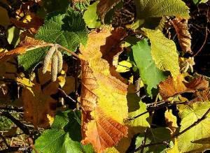 Autumnal Hazel foliage