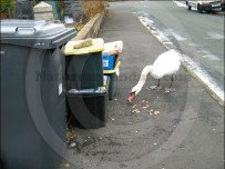 Swan searches for food