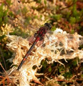 Male White Faced Darter Dragonfly