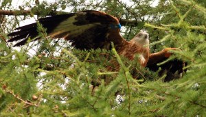 One of the red kites rests in a tree close to the pens from which it was released. Pic Milton Haworth/Forestry Commission