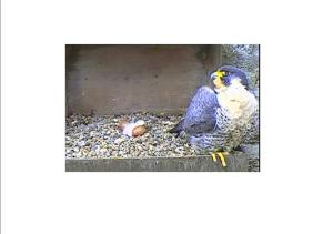 Peregrine chick and parent. Pic David Shaw