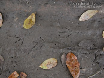 Great-tailed Grackle Tracks