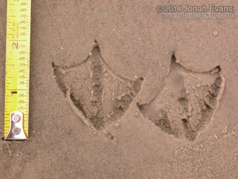 Laughing Gull Tracks