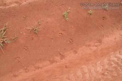 Maned Wolf Tracks