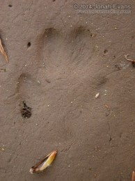 Red Fox Hind Track