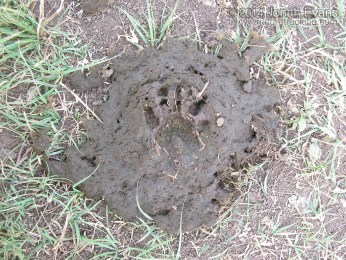 Raccoon Track in Cow Scat