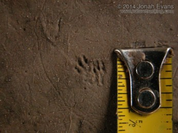 Shrew Tracks