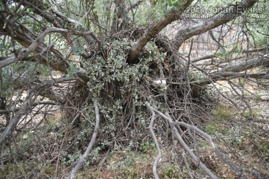 Big-eared Woodrat Nest