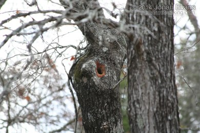 Fox Squirrel Hole