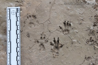Fox Squirrel Tracks