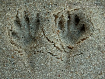 Ord's Kangaroo Rat Tracks