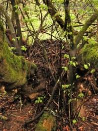 Woodrat Nest