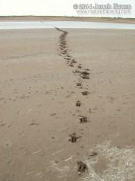 Nilgai Tracks