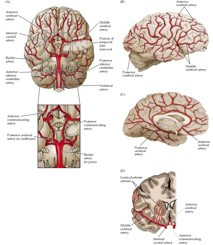i love physical therapy The blood supply of the brain and spinal cord