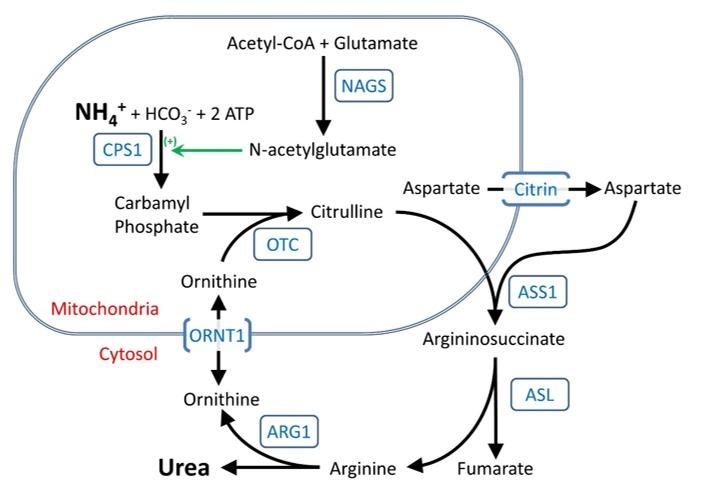Figure 1 The urea cycle - GeneReviews® - NCBI Bookshelf - urea cycle