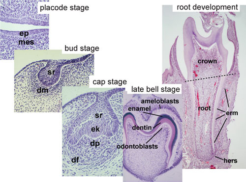 Figure 2, Histology of important stages of tooth development