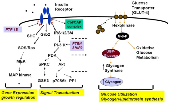 Insulin signaling and action glucose, lipids, protein - Endotext