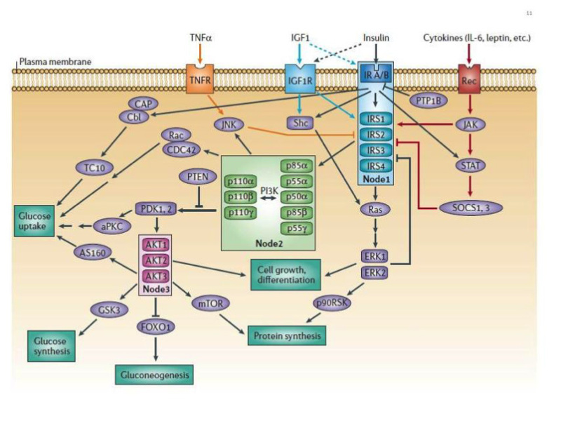 The Insulin Receptor and Its Signal Transduction Network - Endotext