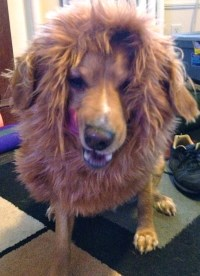 How to Make a Lion's Mane Dog Costume