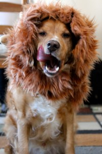 Lion Mane Dog Costume Version 2 - Needles and Know How