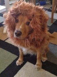 Lion Mane Dog Costume Version 2