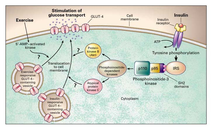 Glucose Transporters and Insulin Action \u2014 Implications for Insulin