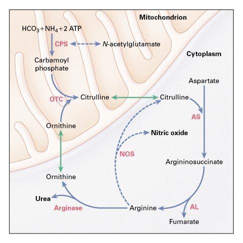 Neonatal Pulmonary Hypertension \u2014 Urea-Cycle Intermediates, Nitric - urea cycle