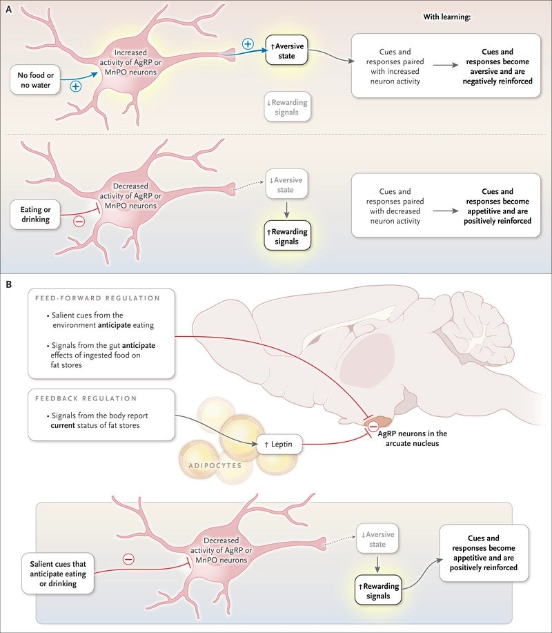 New Neuroscience of Homeostasis and Drives for Food, Water, and Salt