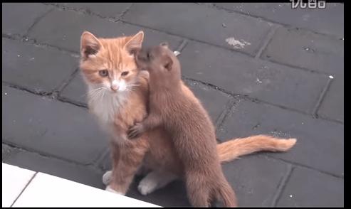【猫動画】猫にギュッ!猫とイタチのほのぼのなごむ関係