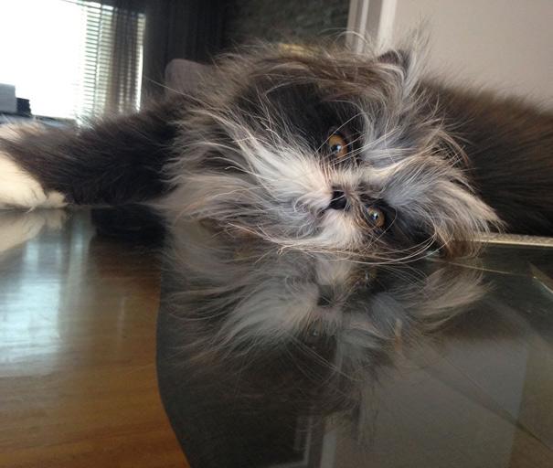【猫ネタ/猫動画】人気急上昇!?犬なみに毛が長い!!多毛症の猫「ATCHOUM」