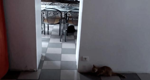 【猫動画】ドッキリ大成功!?まるでコントな猫同士の遊び!?