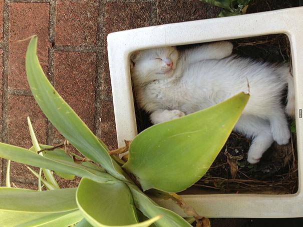 【猫画像】猫が生えた!?植木鉢に入りたがる猫たち 12選