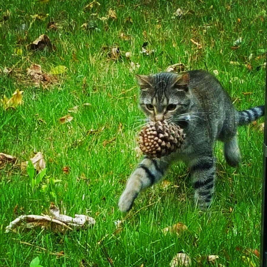 【猫画像】マツボックリをゲット