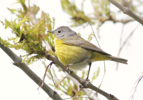 Nashville Warbler - adult male (photo by Alex Lamoreaux)