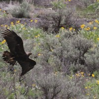 Golden Eagle vs Raven